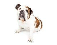 Senior English Bulldog Looking Up Stock Image
