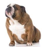Senior english bulldog Royalty Free Stock Photo