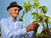 Senior farmer with an apple tree Stock Photography