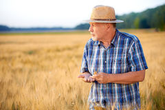 Senior farmer checks wheat grain, looking to the left Stock Images