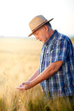 Senior farmer checks wheat grain in summer field Stock Photo