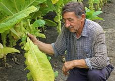 Tobacco in the field. Senior farmer controlling and picking tobacco leaves in the field stock photography