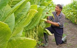Tobacco in the field. Senior farmer controlling and picking tobacco leaves in the field stock image
