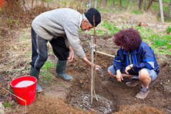 Senior farmer and daughter planting trees Royalty Free Stock Photography