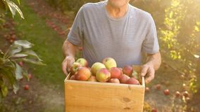 Senior farmer, harvesting a apple. Sunset. A farmer in his garden with apples in a wooden box. The man is working and stock footage