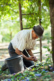 Senior farmer harvesting plums Stock Photography