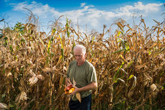 Senior farmer holding corn cobs in hands Royalty Free Stock Image