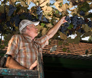 Senior farmer  inspecting the fresh grape crop Royalty Free Stock Image