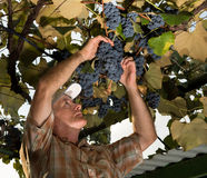 Senior farmer inspecting the fresh grape crop royalty free stock image