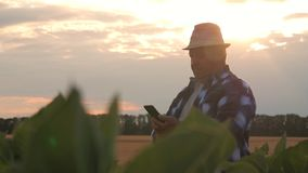 Senior farmer inspecting quality of corn and working with a smartphone. Senior farmer inspecting quality of corn and working with a smartphone stock video footage