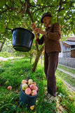 Senior farmer picking apples Stock Images