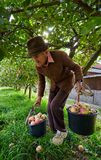 Senior farmer picking apples Royalty Free Stock Image
