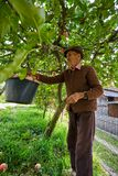 Senior farmer picking apples Royalty Free Stock Photography