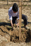 Senior farmer planting a plum tree Royalty Free Stock Photography
