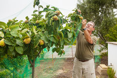 Senior farmer putting a net in a quince tree. stock image