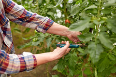Senior farmer with secateurs at farm greenhouse. Farming, gardening, agriculture, harvest and people concept - hands of senior farmer with secateurs at farm Royalty Free Stock Photography