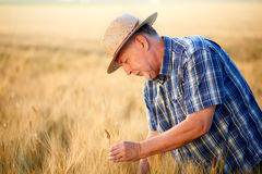 Senior farmer with straw hat checks barley grain Royalty Free Stock Photography