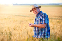 Senior farmer with straw hat checks wheat grain Royalty Free Stock Image