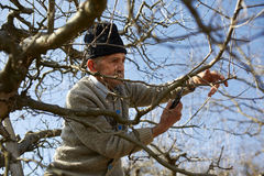 Senior farmer trimming trees Royalty Free Stock Photo