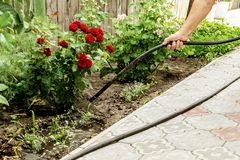 A senior farmer waters from a hose rosebushes in a garden. Agriculture concept.  stock photo