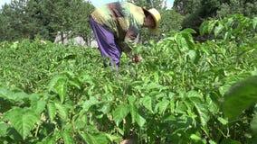 Senior farmer woman destroy colorado beetle larva with natural method. 4K stock video footage