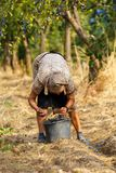 Senior farmer woman harvesting plums Stock Photos