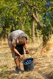 Senior farmer woman harvesting plums Stock Images