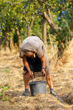 Senior farmer woman harvesting plums Royalty Free Stock Photos