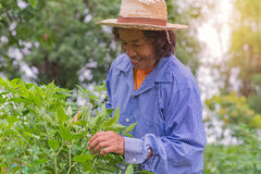 Senior farmer woman with picking chili from vegetable garden Royalty Free Stock Photo
