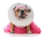 Senior female bulldog. Dressed like a queen on white background Stock Photo