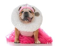 Senior female bulldog. Dressed like a queen on white background Royalty Free Stock Photography