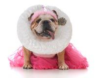 Senior female bulldog. Dressed like a queen on white background Stock Image
