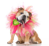 Senior female bulldog Royalty Free Stock Photography