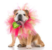 Senior female bulldog Royalty Free Stock Images