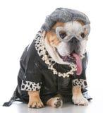 Senior female bulldog Royalty Free Stock Photo