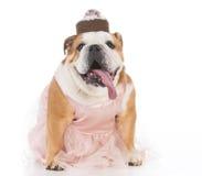 Senior female dog Royalty Free Stock Photo