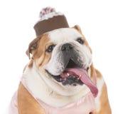 Senior female dog Stock Photography