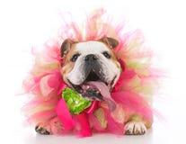 Senior female dog. Senior female bulldog wearing a tulle pink collar Royalty Free Stock Image