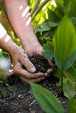 Senior female hands giving fertilizers to plants Stock Photography