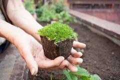 Senior female planting seedling Stock Photography