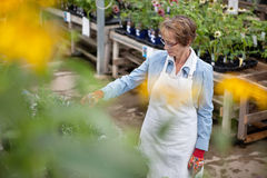 Senior Garden Center Worker Stock Image