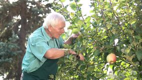 Senior gardener and apple tree. stock video