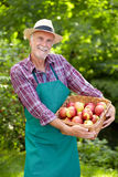 Senior gardener with a basket of apple. In the garden Royalty Free Stock Photo