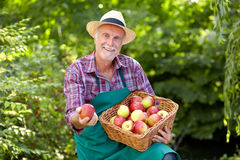 Senior gardener with a basket full of apple Stock Photo