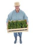 Senior gardener with box of aspic. Female senior gardener wearing straw hat holding wooden crate full of aspic seedlings shot on white stock photography