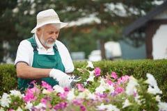 Senior gardener cutting flowers in garden. Senior gardener cutting flowers in pot with special secateurs in garden. Attractive bearded man, wearing in special royalty free stock images