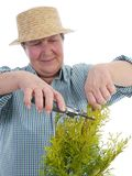Senior gardener forming thuja tree Royalty Free Stock Photography