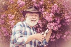Senior gardener. Gardening - Grandfather gardener in sunny garden planting roses. Senior man gardening in garden. Senior gardener. Gardening - Grandfather stock image