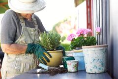 Senior gardener potting young plants in pots. Senior female gardener planting new plant in terracotta pots on a counter in backyard royalty free stock photos