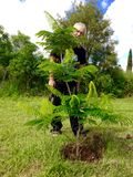 Senior gardener proud after planting new Poinciana tree. A senior man who is a keen gardener stands proud behind the new, young Poinciana tree after planting it stock photography
